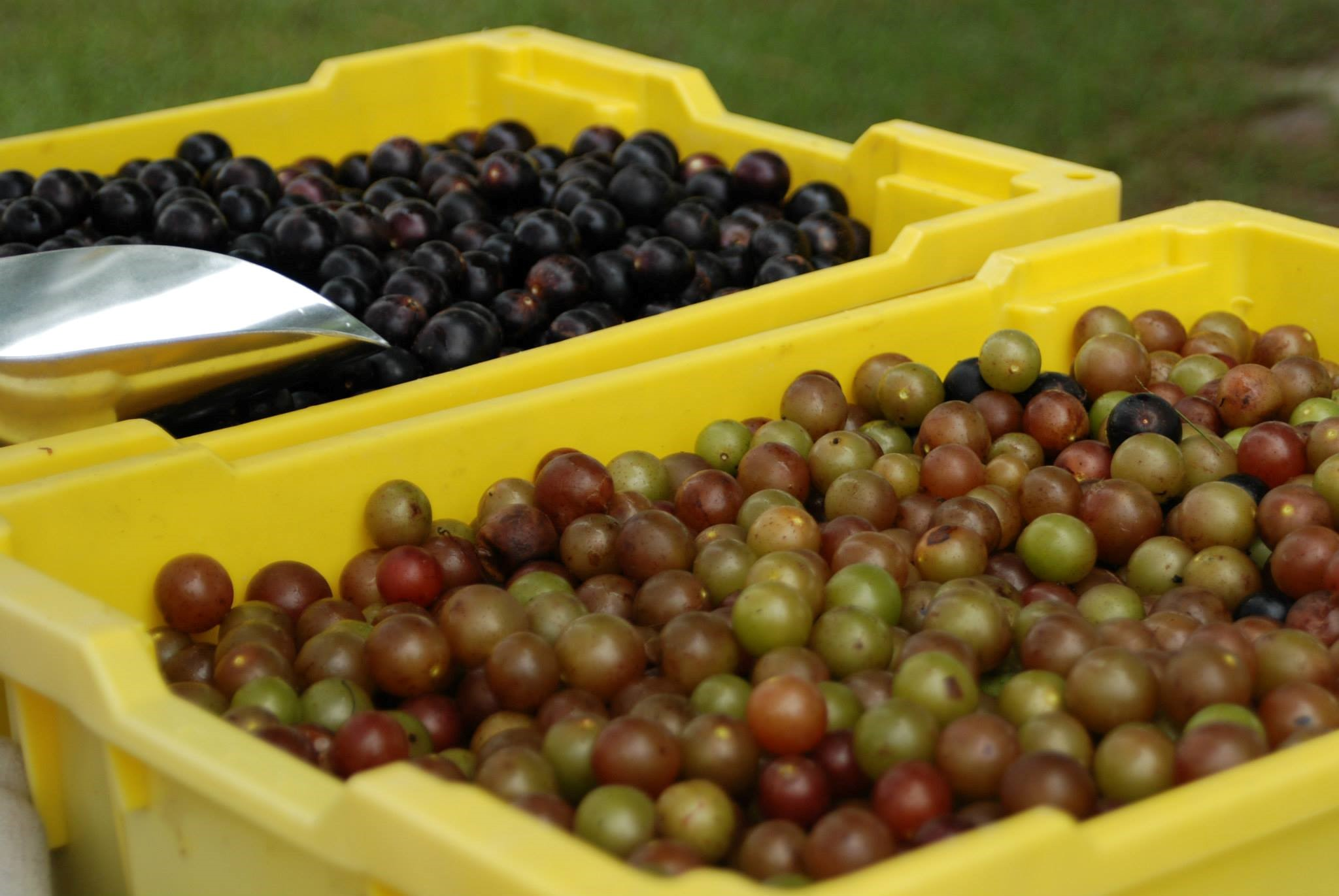 Muscadine grapes! You can pick your own today!!